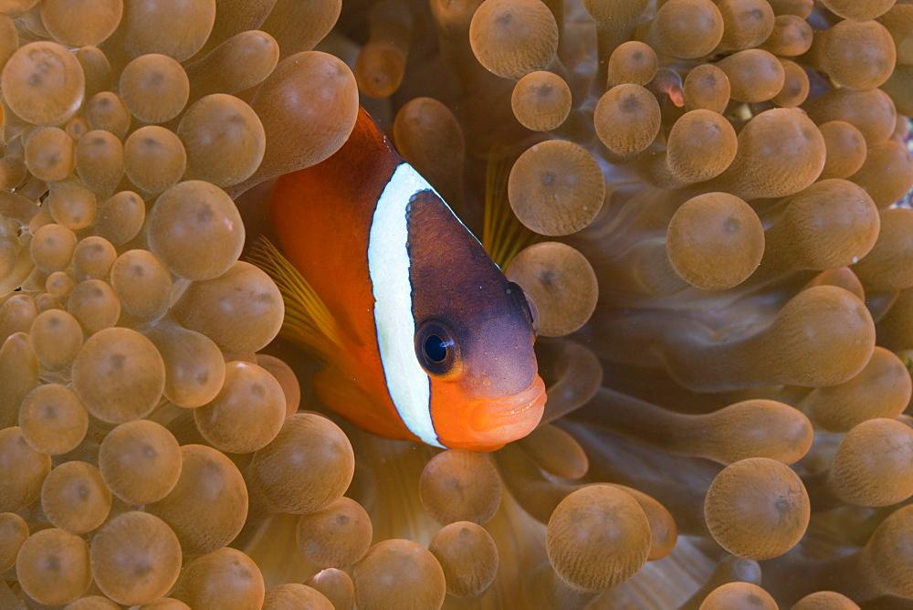 tomato clownfish tomato clownfish in anemone portrait (Amphiprion frenatus)