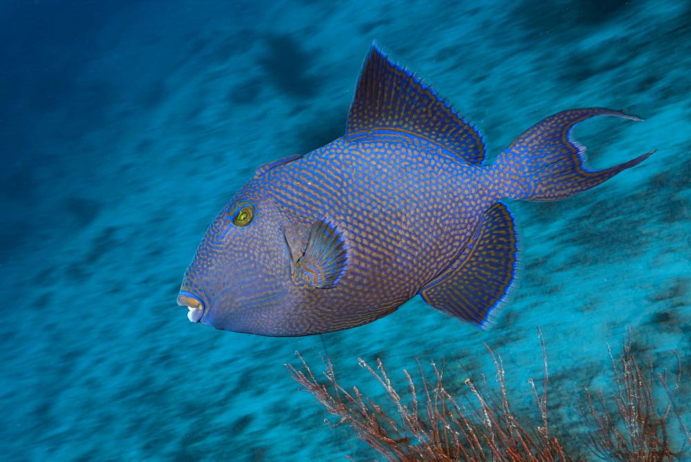 blue trigger fish blue trigger fish swimming portrait (Pseudobalistes fuscus)
