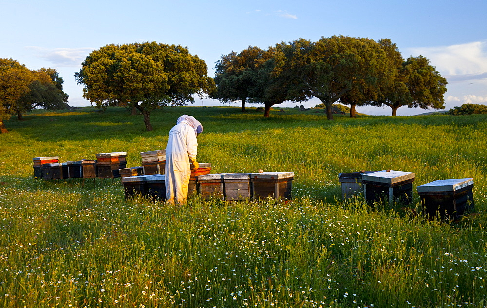 honey bee beekeeper in protective clothing working with honeycomb individual outdoors horizontal format Extremadura Spain Europe (Apis mellifera) - 869-5403