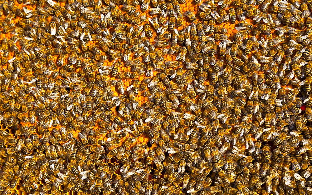 honey bee many bees honeybees on honeycomb close-up horizontal format Extremadura Spain Europe (Apis mellifera)