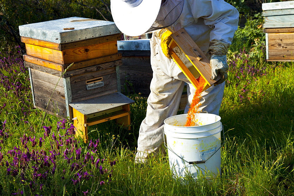 honey bee beekeeper in protective clothing collecting wax bees wax beeswax from honeycomb individual outdoors horizontal format Extremadura Spain Europe (Apis mellifera) - 869-5406