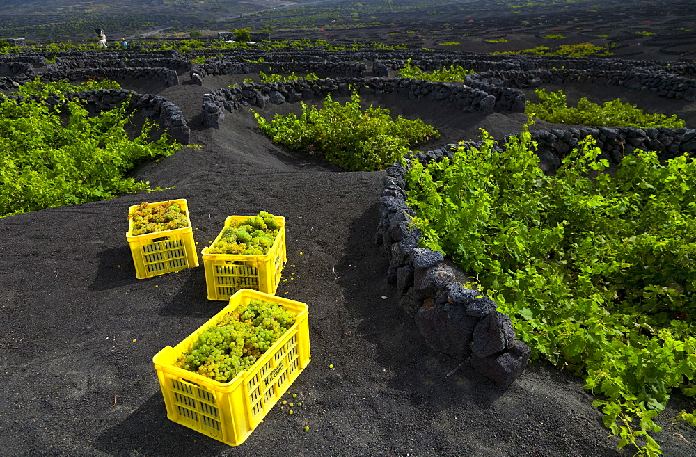 vine Malvasia grapes harvested in three yellow boxes in vineyard with plants growing on volcanic soil outdoors La Geria Isla Lanzarote Province Las Palmas Canary Islands Spain Europe (Vitis vinifera)