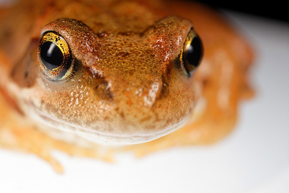 portrait frog  - 869-5482