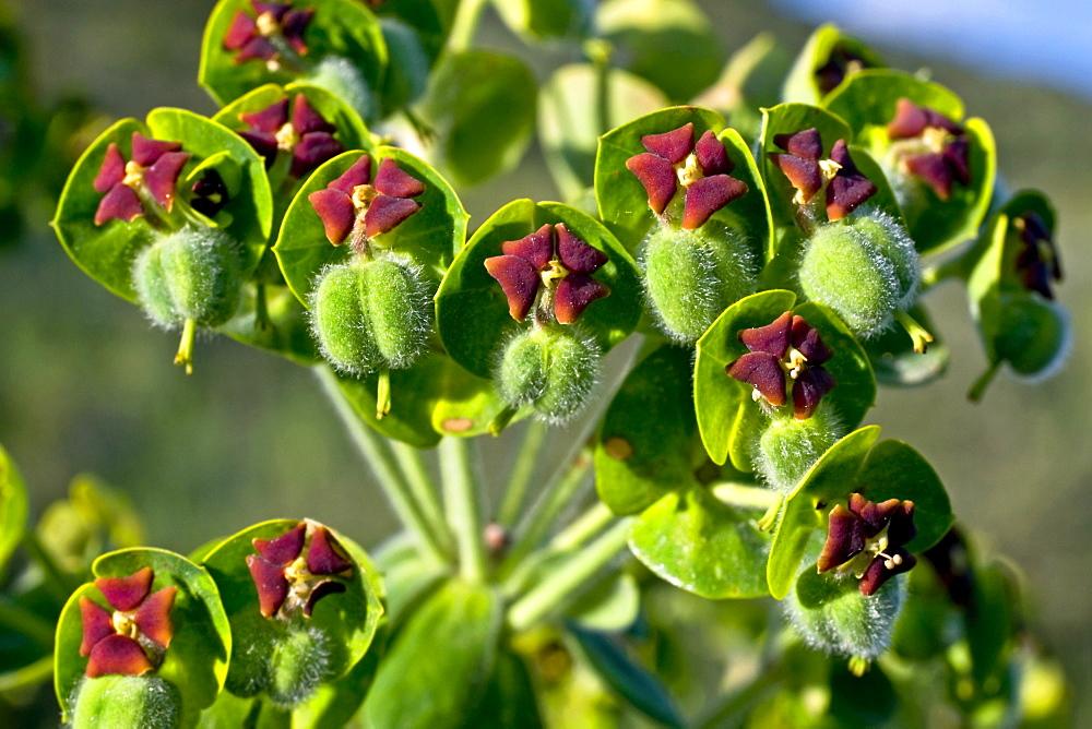 Mediterranean spurge spurge subspecies Euphorbia characias characias toxic Sant Llorenvß de Montgai Noguera Lleida Catalonia Spain (Euphorbia characias) - 869-5652