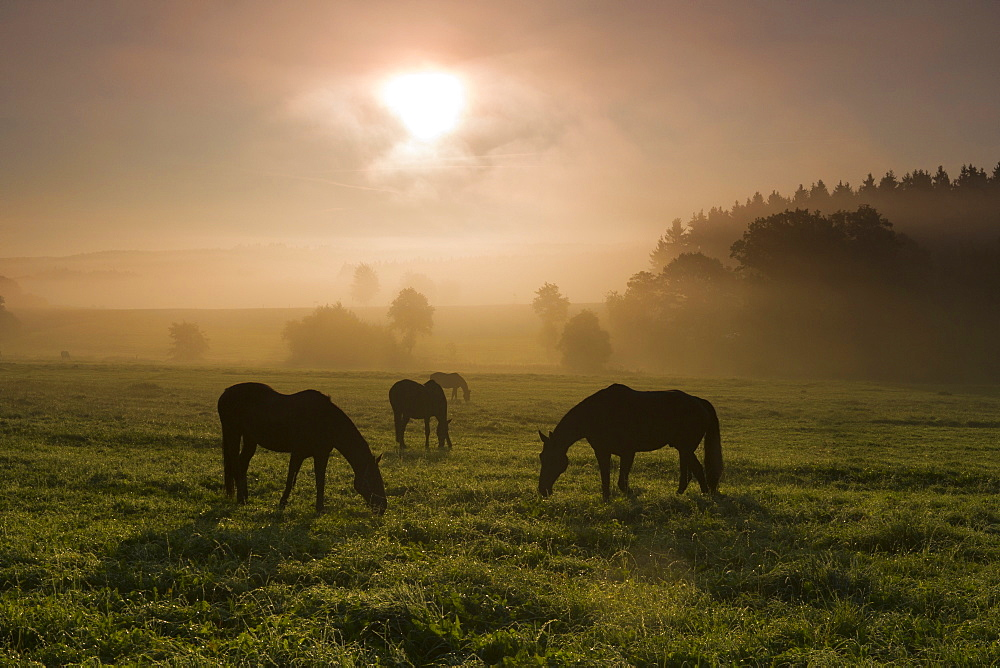 horse three horses in withdrawing fog at sunrise on pasture Saxony Germany Europe (Equus przewalskii caballus)