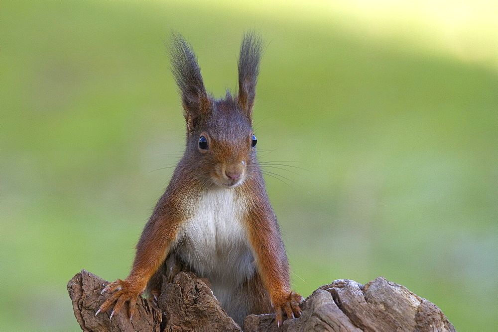 red squirrel or Eurasian red squirrel red squirrel portrait squirrel on tree stump winter Germany (Sciurus vulgaris) - 869-5796