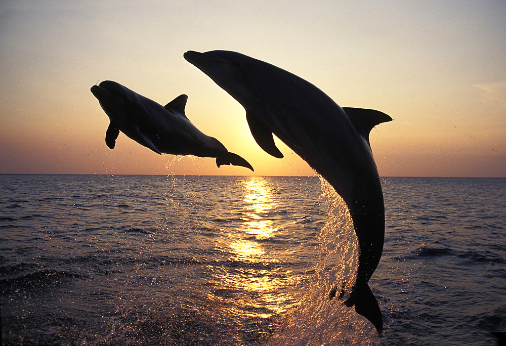 bottle-nosed dolphin bottlenose dolphin two adults leaping at sunset Honduras Central America America (Tursiops truncatus)