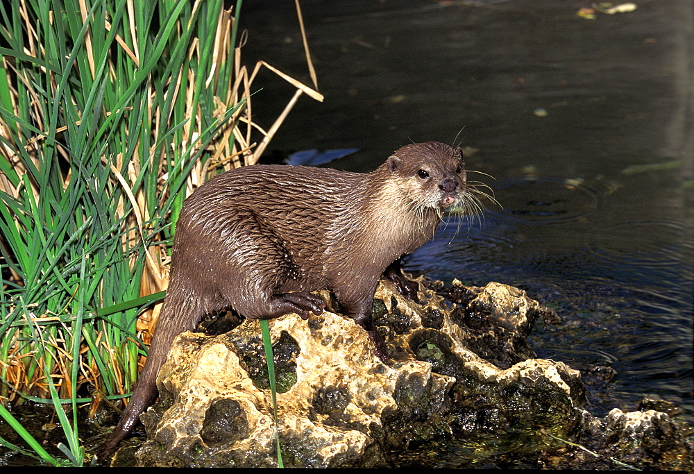 Oriental short-clawed otter short clawed otter adult standing on rock near water (Aonyx cinerea) - 869-5807
