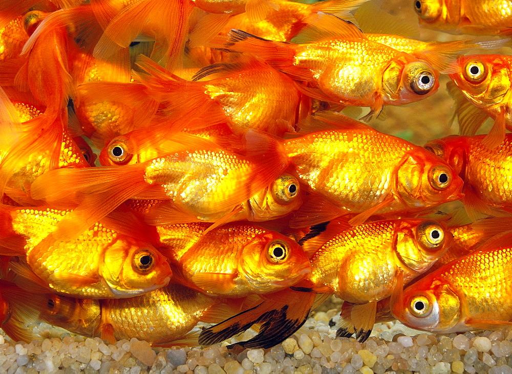 bubble-eye goldfish goldfish goldfish goldfish carassius auratus adult group in aquarium (Carassius gibelio forma auratus Carassius auratus Carassius auratus)