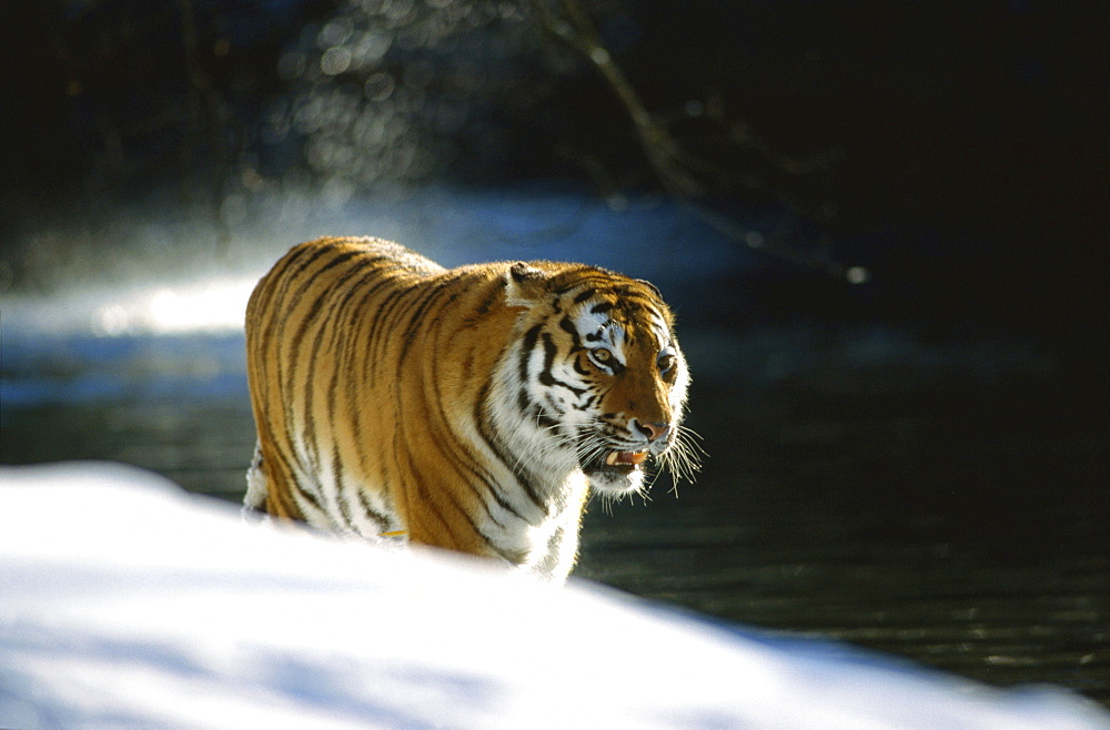 East Sibirian tiger standing on snow