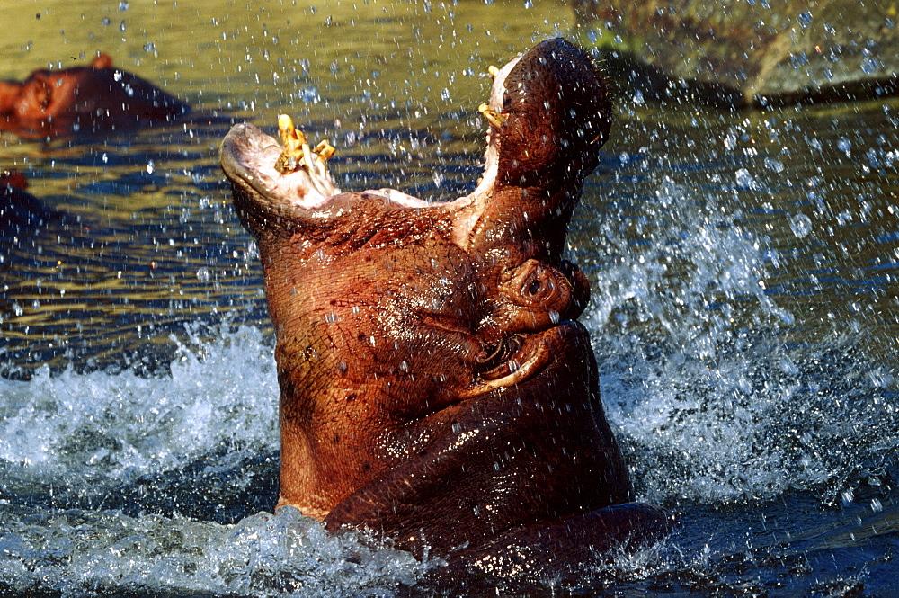 hippopotamus close-up of hippo in water aggression behaviour Africa