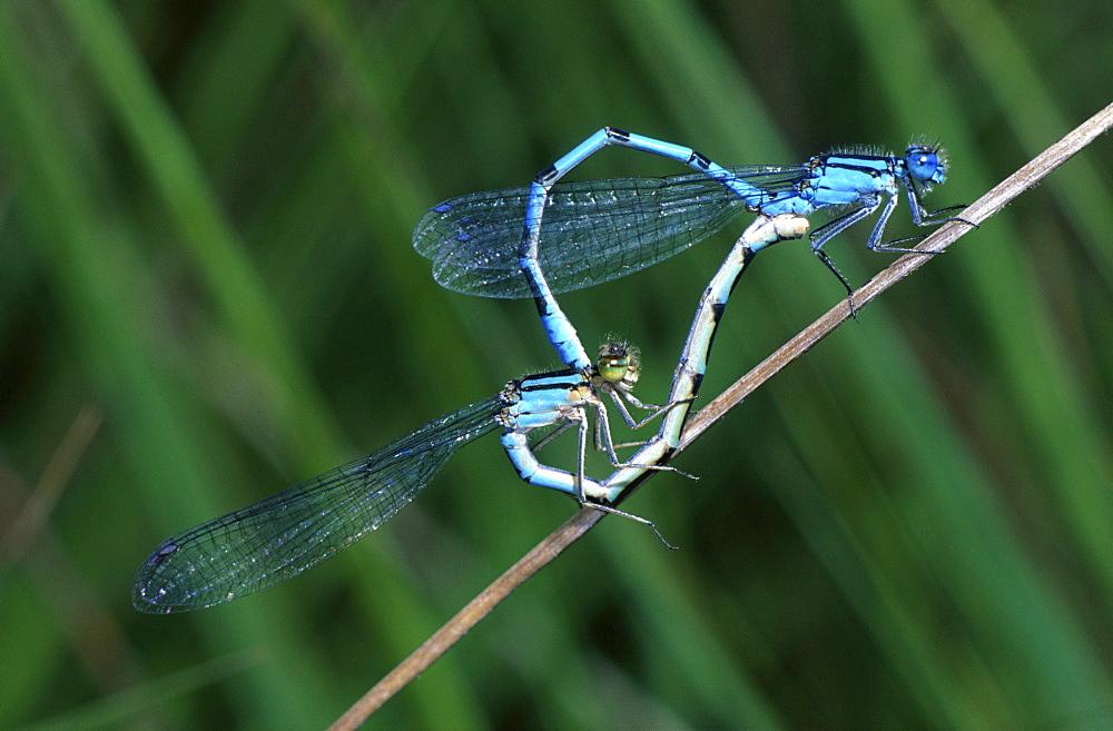 common blue damselfly Insekten Odonata Insecta insects damselfly damselflies