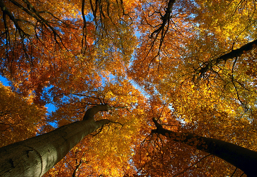 common beech beech group in forest with leaves coloured autumn