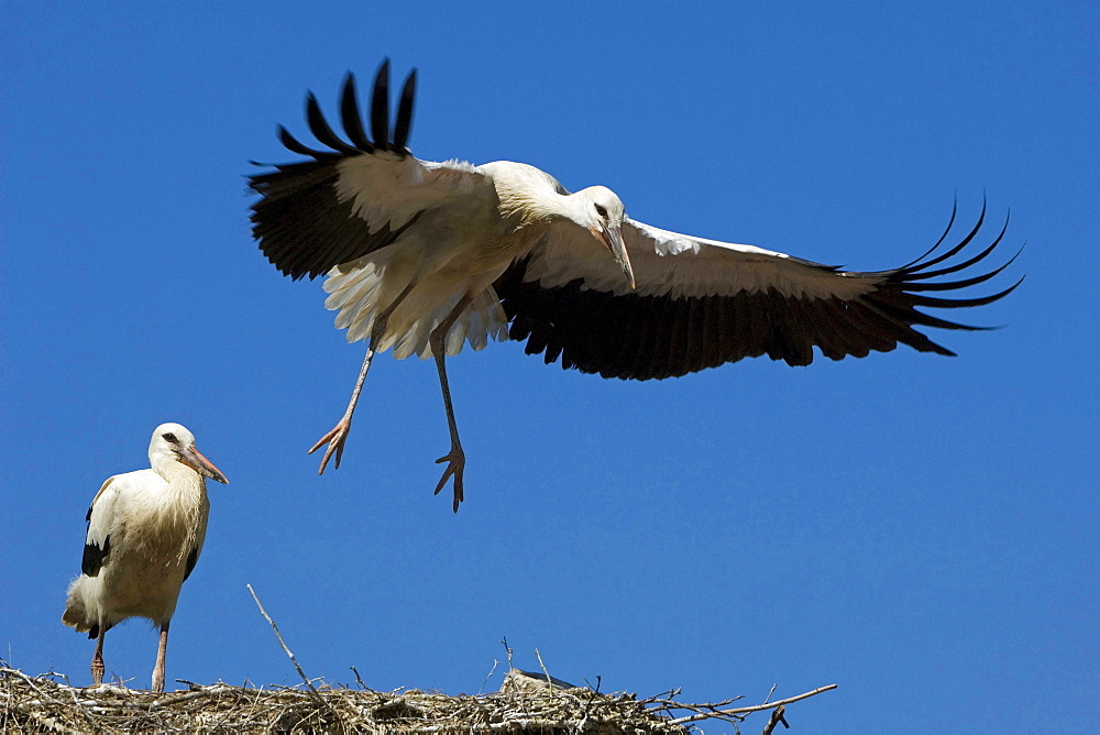 white stork young young birds juveniles 02 on nest nesting place North Rhine-Westphalia Germany Europe
