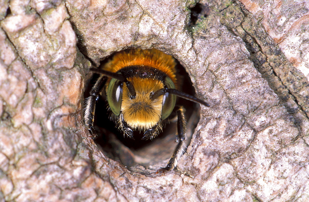 leaf-cutter bee insects bees wild bees head of bee in nest entrance - 869-824