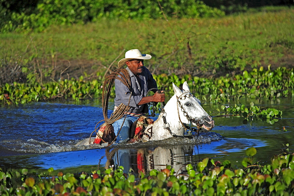 South America Brazil people man native indigenous gaucho cowboy riding Pantaneiro horse crossing water driving cattle