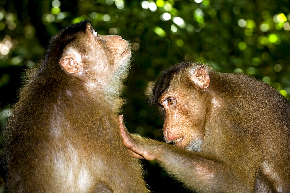 Southern pig-tailed macaque portrait pig-tailed macaque grooming social behaviour