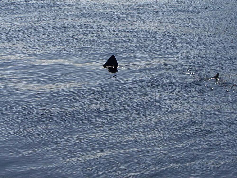 Basking shark (Cetorhinus maximus) fin at surface. UK coastal waters. North Atlantic. 06/08/08 - 888-29