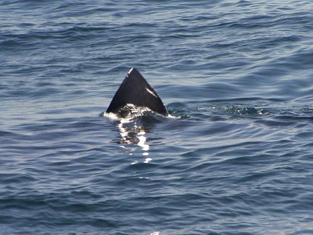 Basking shark (Cetorhinus maximus) fin at surface. UK coastal waters. North Atlantic. 06/08/08 - 888-30