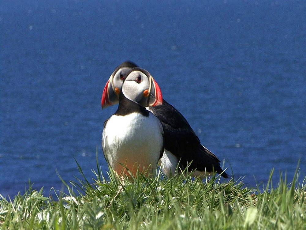 Puffins (Fratercula arctica) at colony. Some display. Inner Hebrides. UK. 06/08/08n Scotland - 888-39