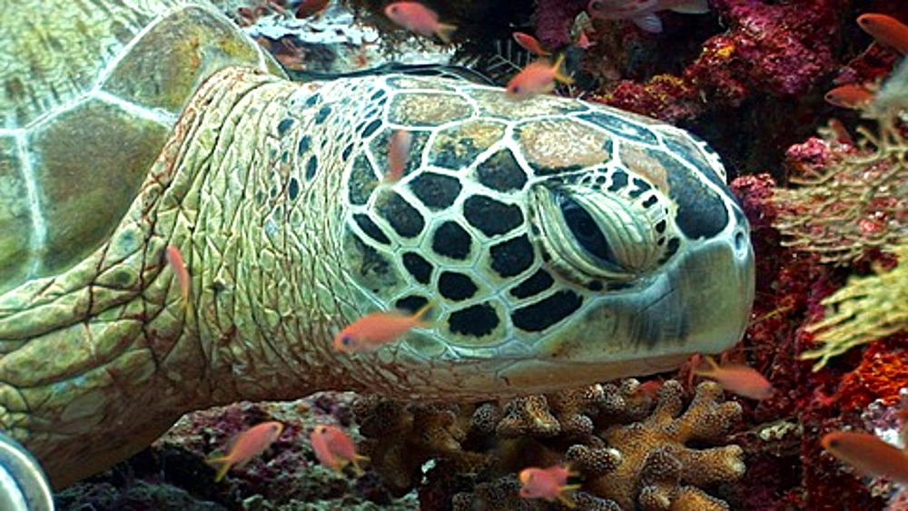 CU Sea Turtle resting on coral reef, Anthias (Pseudanthias squamipinnis) fish clean. Kapalai, Borneo, Malaysia