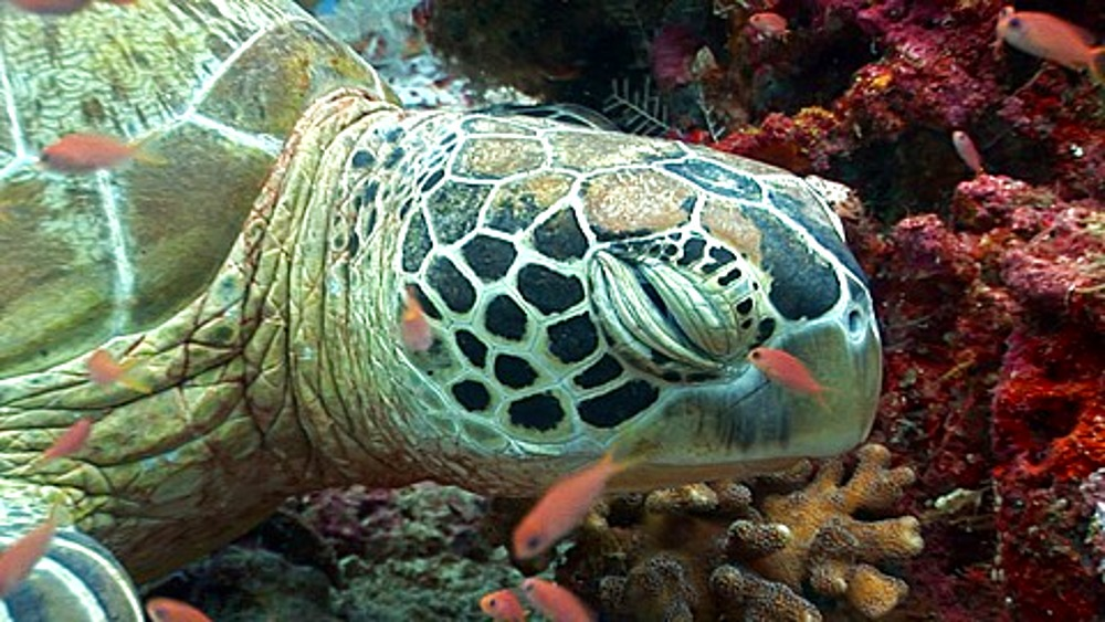 CU Sea Turtle resting on coral reef, Anthias (Pseudanthias squamipinnis) fish clean ZO. Kapalai, Borneo, Malaysia