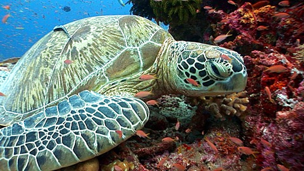 CU Sea Turtle resting on coral reef, Anthias (Pseudanthias squamipinnis) fish clean . Kapalai, Borneo, Malaysia