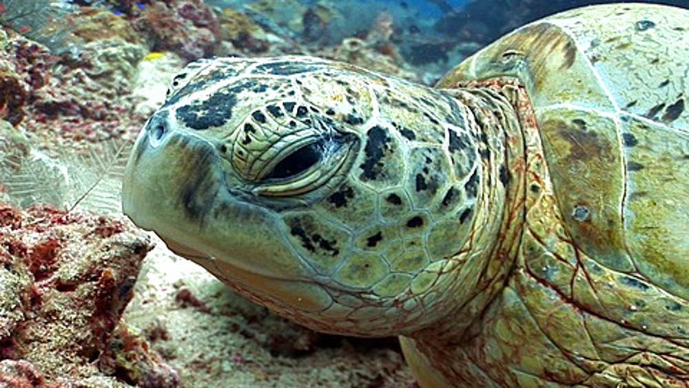 CU Green Sea (Chelonia mydas)Turtle asleep on coral reef, close up of eye, eye opens and looks to camera. Kapalai, Borneo, Malaysia - 890-255