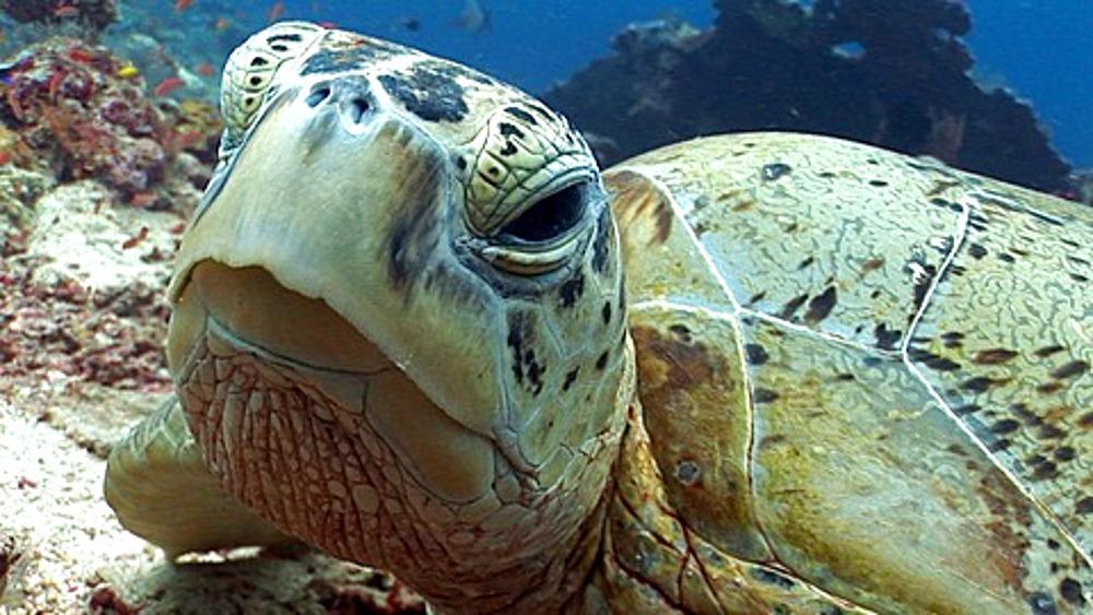 CU Green Sea (Chelonia mydas)Turtle asleep on coral reef, close up of eye, eye opens and looks to camera. Kapalai, Borneo, Malaysia - 890-256