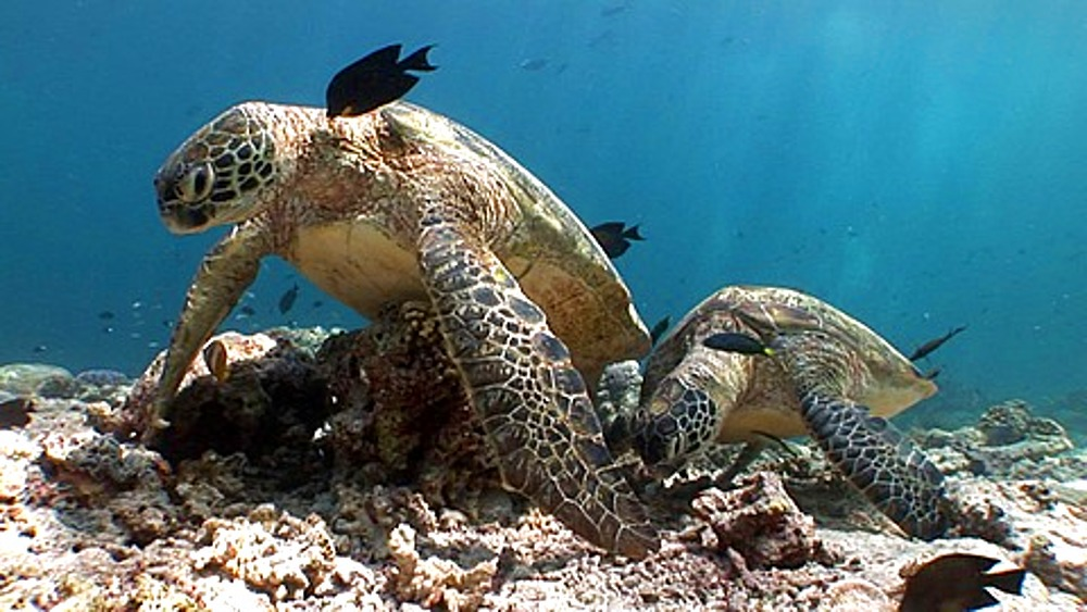 Two Green Sea turtles (Chelonia mydas) resting on bottom at cleaning station. Sipadan, Borneo, Malaysia - 890-263