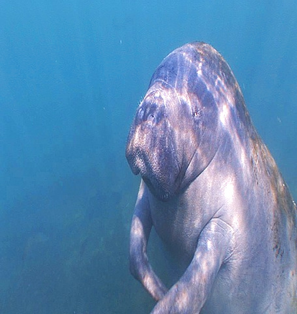 Close up Manatee (Trichechus manatus) ascending to surface, itches arm, breathing, Crystal River, Florida, USA - 890-298