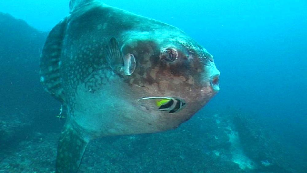Sunfish looking to camera, Moorish idols clean. Nusa lembongan, Bali, Indonesia,