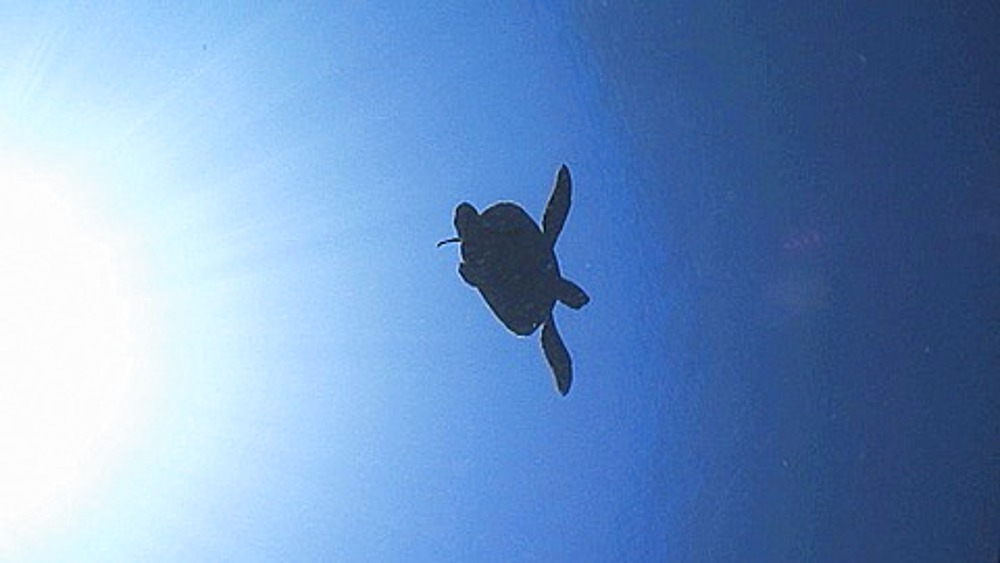 Green turtle (Chelonia mydas) swimming in the blue then silhouetted