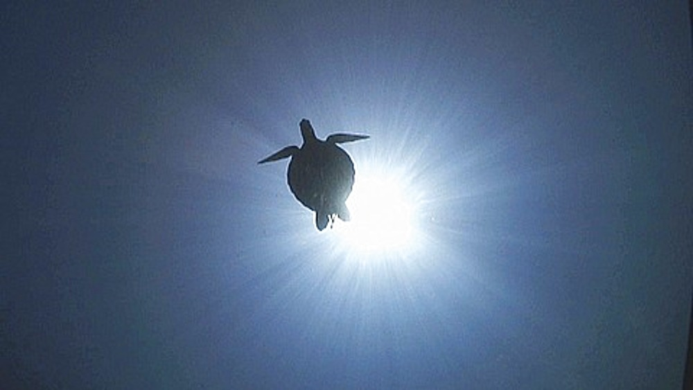 Silhouetted Green turtle (Chelonia mydas) swimming