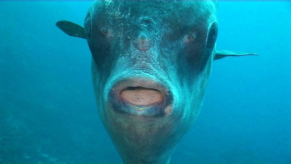CU Sunfish with cleaner fish. Nusa lembongan, Bali, Indonesia,