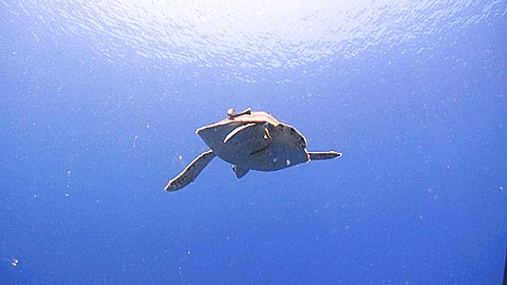 Green turtle (Chelonia mydas) swimming over camera