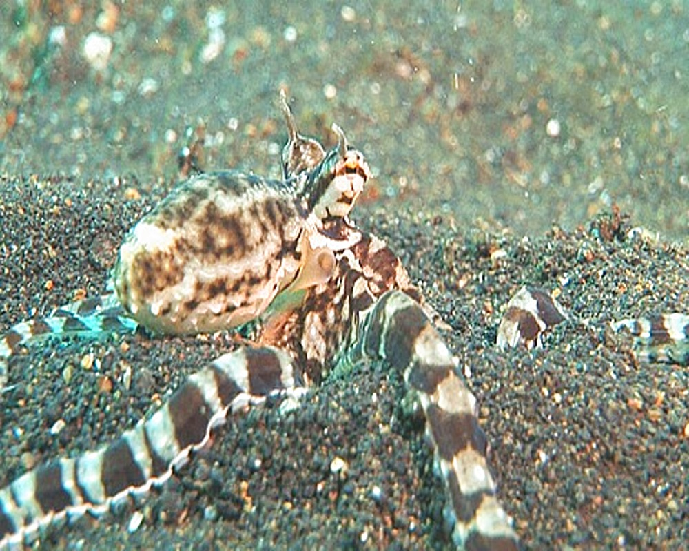 Close up Mimic Octopus (Thaumoctopus mimicus) on sand - 890-425