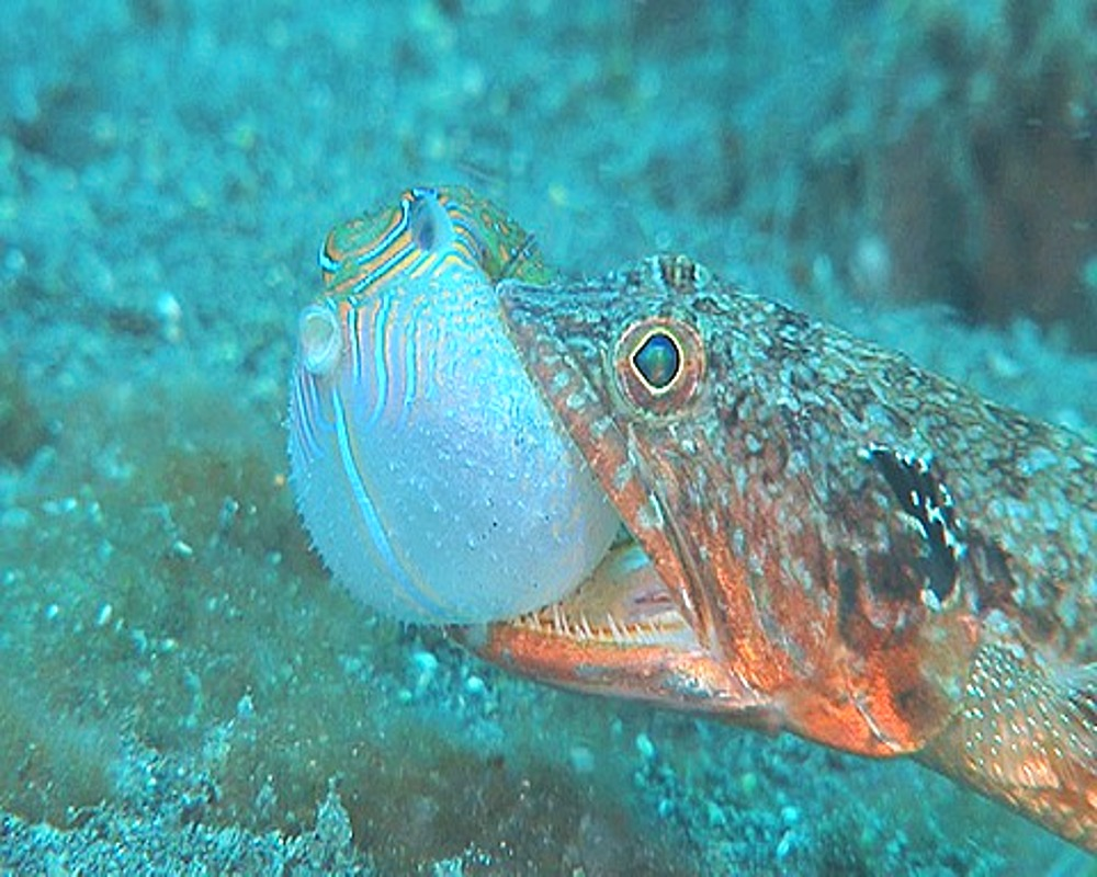 Close up Two spot Lizardfish (Synodus binotatus) with Saddled Toby Pufferfish (Canthigaster valentini) in mouth, KBR, Sulawesi, Indonesia