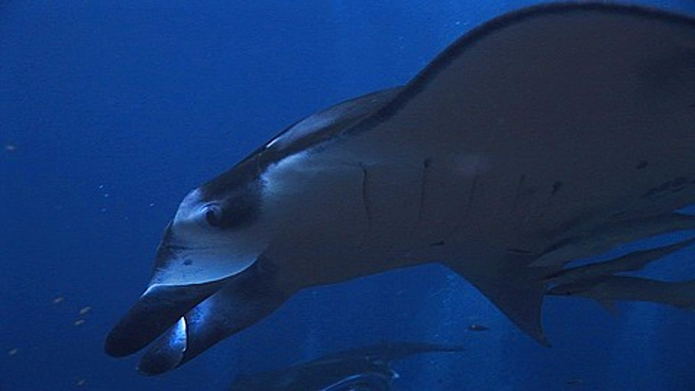 Close up Manta Rays (Manta birostris) at cleaning station, gliding, Maldives, Indian Ocean, Indian Ocean