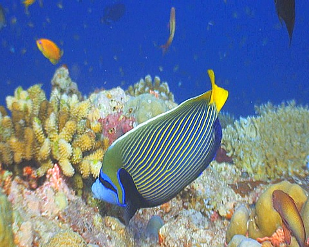 Close up Emporer angelfish, swimming on reef