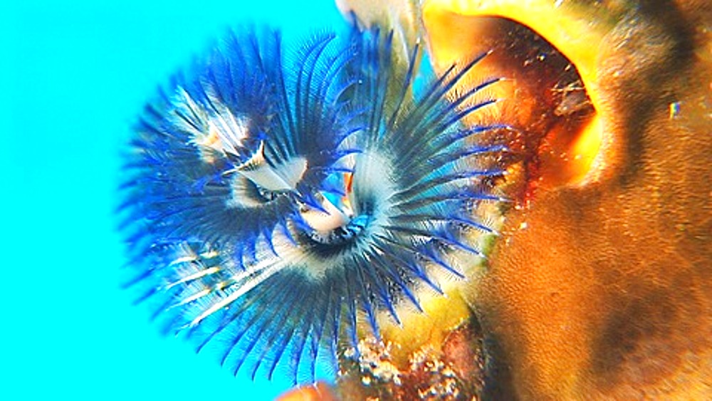 Close up  Christmas tree worm, Polychaete, Annelid worm opening, Maldives, Indian Ocean - 890-530