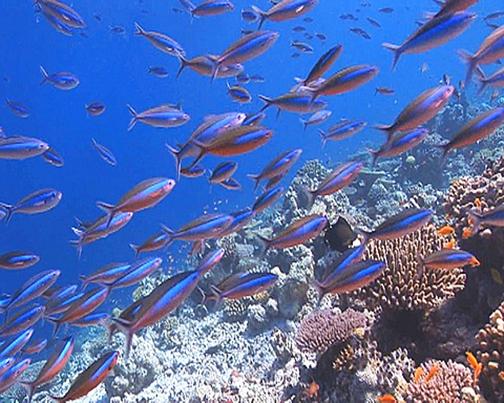 Tracking forward fish swimming over healthy Coral reef, Maldives, Indian Ocean - 890-542