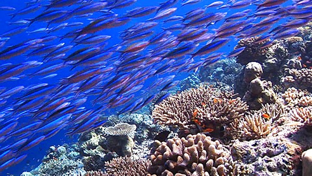 Tracking forward fish swimming over healthy Coral reef, Maldives, Indian Ocean - 890-546