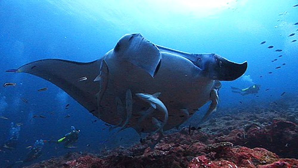 Close up Manta Ray (Manta birostris) at cleaning station over reef, Maldives, Indian Ocean