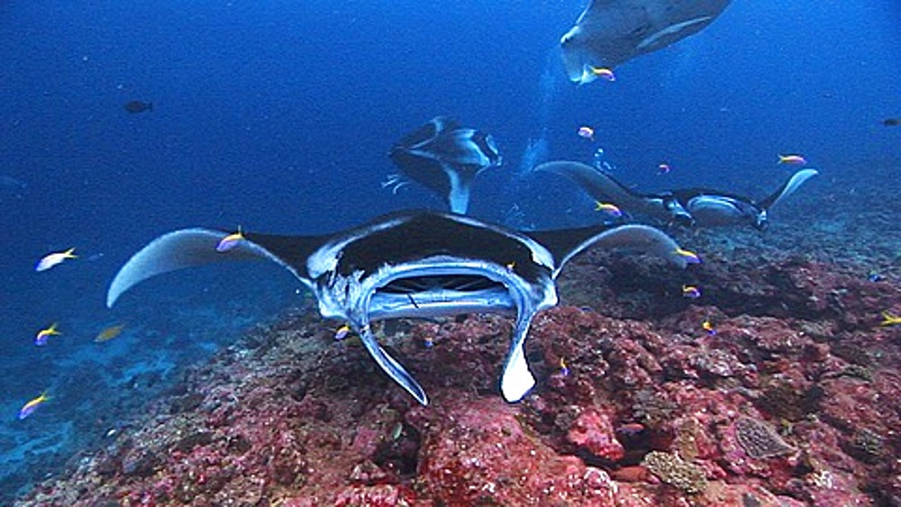 Group of Manta Rays (Manta birostris) at cleaning station over reef, Maldives, Indian Ocean