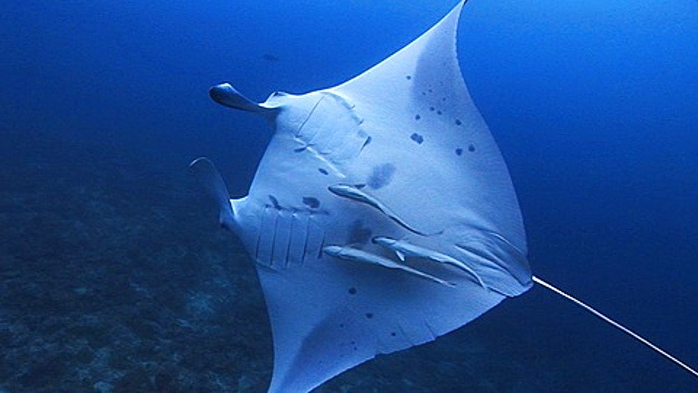 Manta Ray (Manta birostris) swimming on side with remoras,  Maldives, Indian Ocean