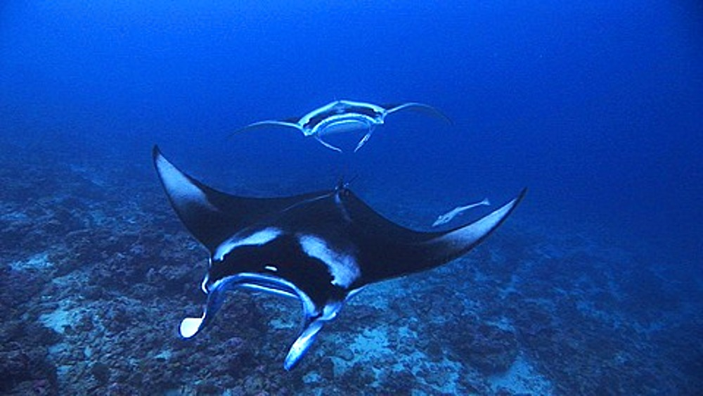 Manta Rays (Manta birostris) swimming towards camera, Maldives, Indian Ocean