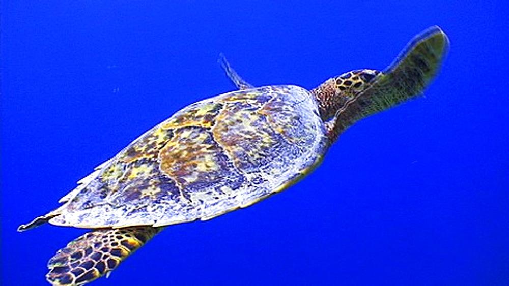 Hawksbill Turtle (Eretmochelys imbricata) swimming in blue water, Maldives, Indian Ocean