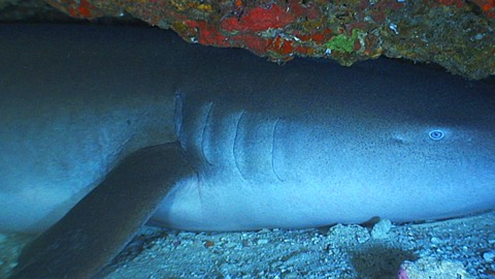 Close up Nurse shark (Ginglymostoma cirratum) in cave, zoom out, Maldives, Indian Ocean - 890-594