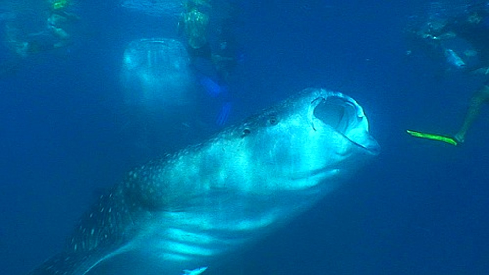 Whale Sharks (Rhincodon typus) feeding at surface with divers, Maldives, Indian Ocean - 890-630